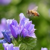 花から花へ ミツバチさん