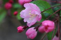 一番花 ハナカイドウ