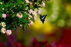 Colorful!   アオスジアゲハ