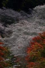 四季桜 輝く