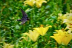 ツバメさん ユリの園を飛んでいます