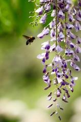 藤にクマバチ