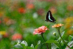 アオスジアゲハ  花畑に舞う2