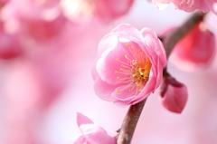 枝垂れ梅 開花