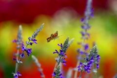 花から花へ飛ぶ   ヒメアカタテハ