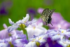 花菖蒲にフワリ 4
