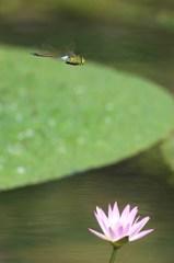 睡蓮の花とギンヤンマ