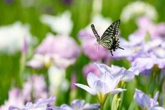 花菖蒲にフワリ 6
