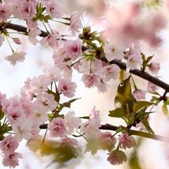 桜の花に満たされて