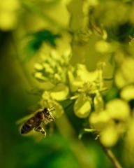 菜の花 探索