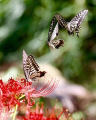 恋の鞘当て  アゲハチョウ