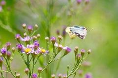 次の花へ飛ぶ モンキチョウ