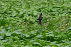 翔ぶツバメ