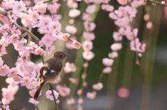 枝垂れ梅にジョウビタキ