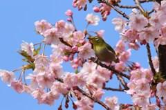メジロさん 春を満喫 2