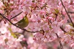 メジロさん 春を満喫 1
