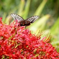 彼岸花に飛ぶ アゲハチョウ 2