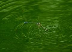 離水に難儀するクロイトトンボのペア