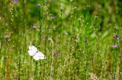 初夏の野原のモンシロチョウ