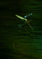 水中産卵を終えて浮上するクロイトトンボのペア
