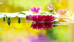 「浄土に咲く花」〜 華やぐ睡蓮池