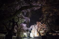 Samurai cherry tree