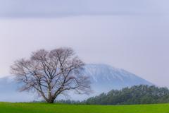 One cherry tree