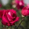 神代植物公園 秋薔薇