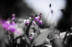 紫蘭の季節