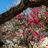 yaho plum garden 2