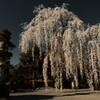 minobu sakura image01