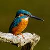 Kingfisher 1800 ③