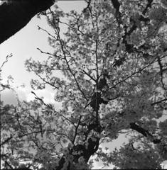桜モノクローム7