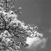 桜モノクローム3