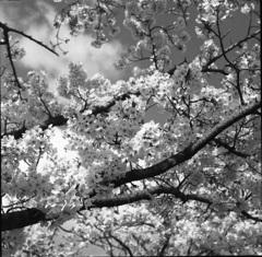 桜モノクローム6