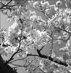桜モノクローム8