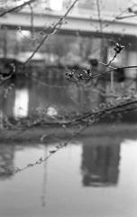 中之島の桜1