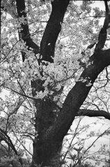 桜モノクローム2
