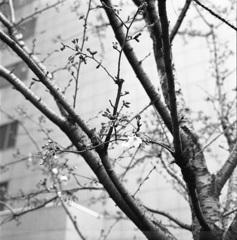 ビル間の桜