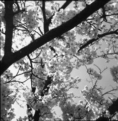 桜モノクローム5