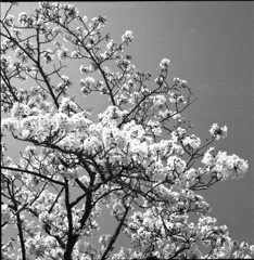 桜モノクローム4