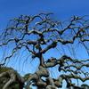 面白い枝ぶり・ブリ