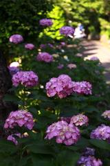 紫陽花ロード・・・。