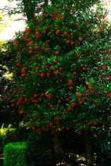 盛夏のクリスマスツリー