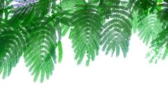 この繊細さが大好き。  合歓の木の葉