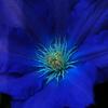 ゴージャスな蕊  魅惑の花芯005