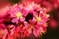 梅ではない桜の仲間