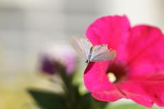 シジミチョウと花(11)