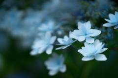 清澄庭園の紫陽花①