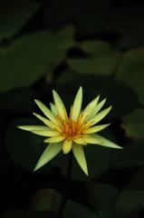 熱帯の淡黄花…